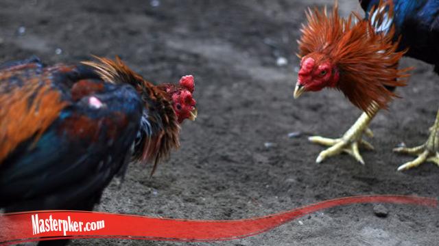 Cara Yang Benar Tingkatkan Mental Ayam S128