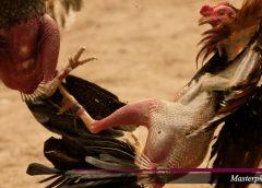 Betting Online Agen Sabung Ayam SV388